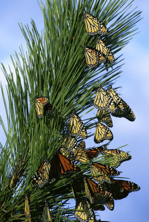 Monarch_butterfly_migrationL
